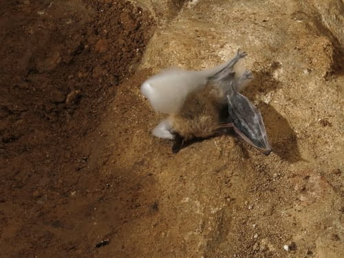 neurčený druh netopýra pod Jezevčí síní